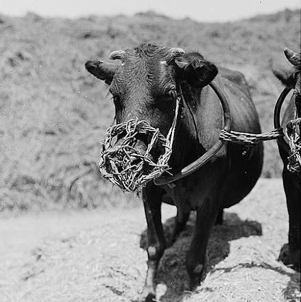 Намордник с шипами для теленка